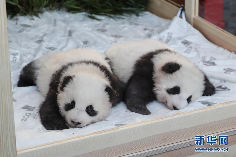 """(國際)(2)在德出生大熊貓雙胞胎命名為""""夢想""""""""夢圓"""""""