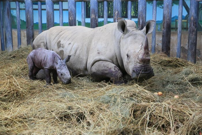 五年科研攻关结硕果!江北地区首例南非双角白犀牛繁育在济南野生动物世界实现